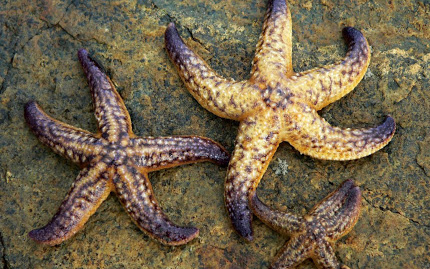 starfish-wallpapers-10